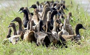 Un nouveau foyer de grippe aviaire a été détecté dans un élevage de canards en Dordogne