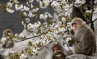 Un traitement expérimental qui empêche l'alimentation sanguine des cellules de graisse a permis à des macaques obèses de perdre en moyenne 11% de leur poids en quatre semaines ouvrant peut-être la voie à une thérapie chez les humains, selon une étude publiée mercredi.