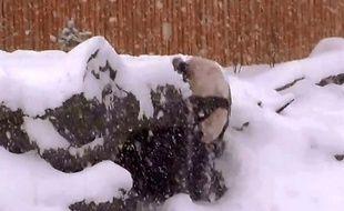 Capture d'écran de la chute d'un panda qui joue dans la neige au zoo de Toronto.