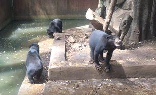 Des vidéos des ours affamés du zoo de Bandung (Indonésie) ont suscité l'indignation des internautes. La dernière vidéo a été diffusée en janvier 2017.