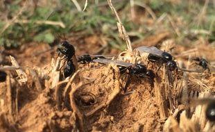 Les fourmis moissonneuses sur la plaine de la Crau, dans les Bouches-du-Rhône.