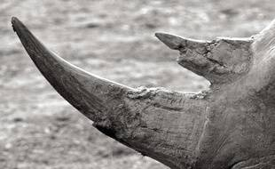 116 kg de cornes rhinocéros ont été saisis à l'aéroport de Johannesburg (illustration).