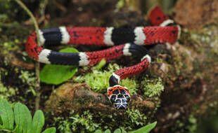 Un serpent corail.  Illustration.