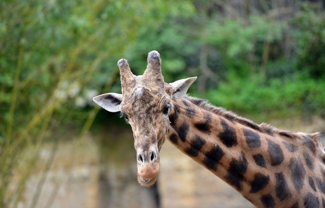 Floride: La foudre touche deux girafes et les tue sur le cou(p)