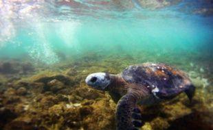 Une tortue près de l'Ile de Pâques, en juillet 2010