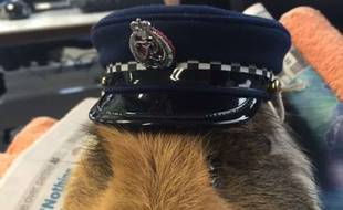 Elliot, le cochon d'Inde mascotte de la police néo-zélandaise, est mort dimanche