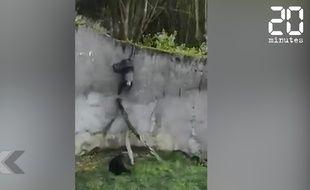 Les chimpanzés du Zoo de Belgrade tentent de s'échapper.
