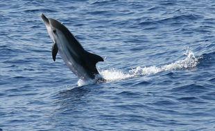 Illustration d'un dauphin bleu et blanc.