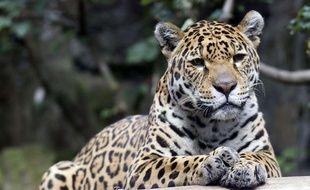 Un léopard (illustration).