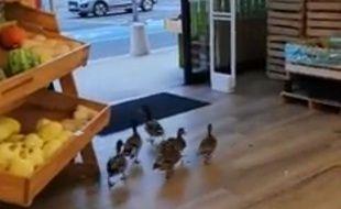 Des canards se sont introduits dans un magasin bio de Canet-en-Roussillon