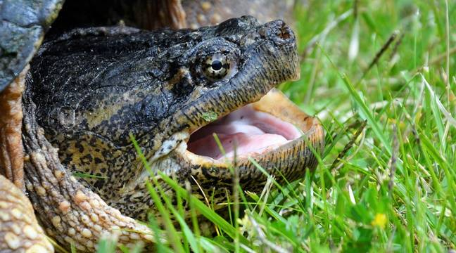 C'est quoi ces tortues carnivores (et dangereuses) retrouvées à Toulouse ?