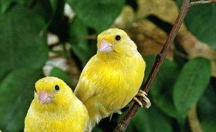 Les canaris vivent plus heureux en couple que sans partenaire, selon une chercheuse française.
