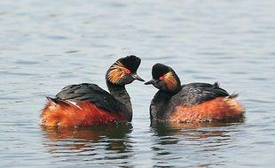 Un couple de grèbes à cou noir et yeux rouges, réintroduite dans une réserve naturelle du Nord.