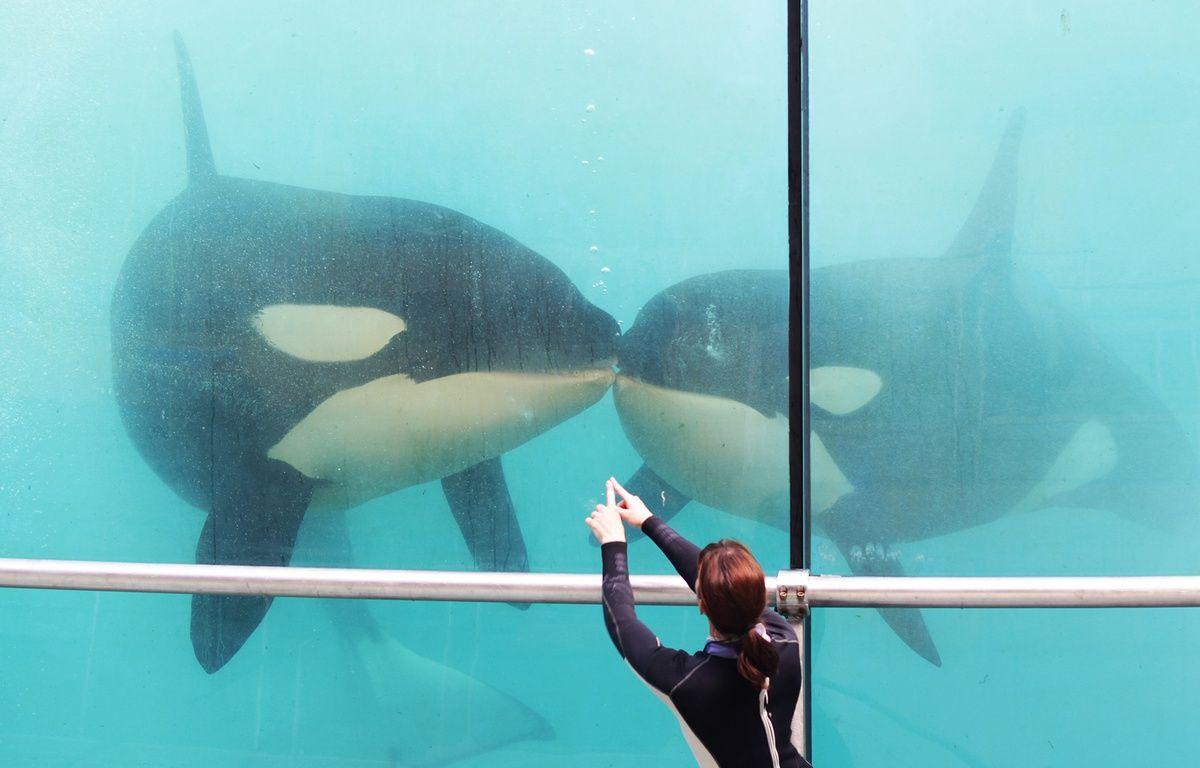 Le nouveau spectacle des orques, présenté ce jeudi – F. Binacchi / ANP / 20 Minutes