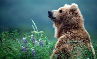 Un ours brun a été découvert mort mardi en Ariège, abattu par balles. Illustration.