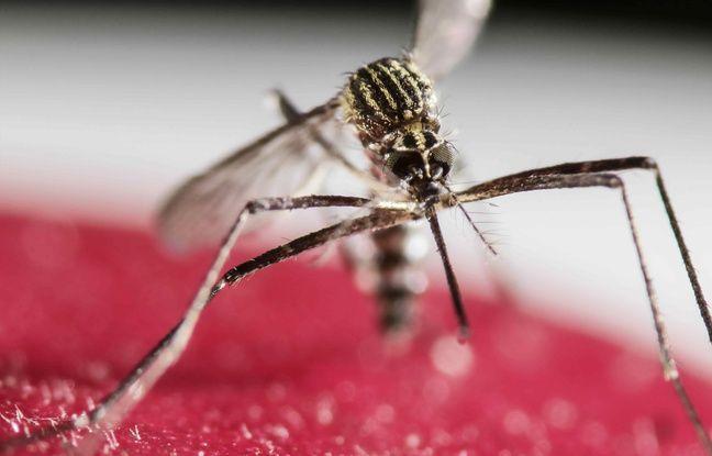 Un moustique Aedes Aegypti, vecteur du virus Zika, le 30 janvier 2016 à San Jose, au Costa Rica.