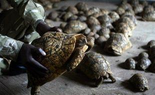 Des tortues léopards interceptées en août 2006 à l'aéroport de Nairobi (Kenya) et que des trafiquants prévoyaient d'expédier en Thaïlande.