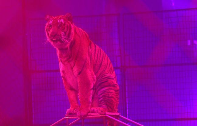 Tigres, éléphants, chevaux... Le cirque Arlette Gruss possède 32 animaux dans sa ménagerie.
