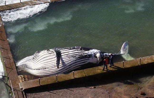Une baleine à bosse retrouvée échouée dans une piscine près de Sydney, en Australie, le 1er août 2012.