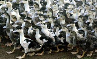 Plusieurs centaines de canards sont morts asphyxiés dans une élevage en Dordogne.