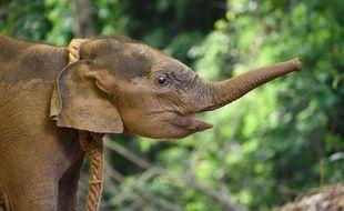 Une éléphante d'Asie de 4 mois sauvée par des responsables forestiers de la forêt de la réserve de Rani le 16 juin 2020 (photo d'illustration)