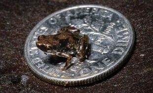 Le plus petit vertébré connu à ce jour sur la planète est une grenouille mesurant en moyenne 7,7 millimètres qui vient d'être découverte en Nouvelle-Guinée, ont annoncé mercredi des biologistes américains.