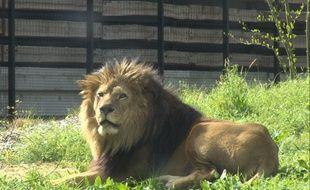 Illustration d'un lion au zoo de Vincennes.