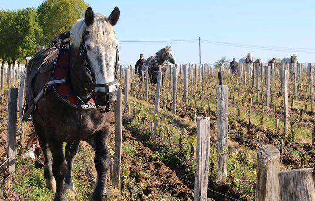 A Saint-Emilion près de Bordeaux, Cheval des vignes propose aux propriétés le labour à cheval