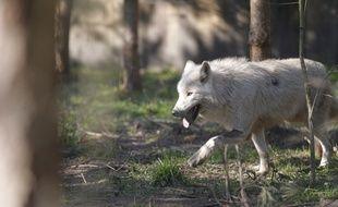 Une vingtaine de bêtes ont été attaquées par le loup aux Pilles dans la Drôme. Illustration.