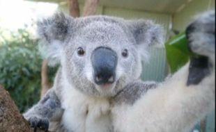 Un koala réalise un selfie