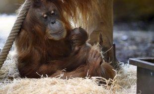La femelle orang-outan et son bébé, au zoo d'Amnéville.