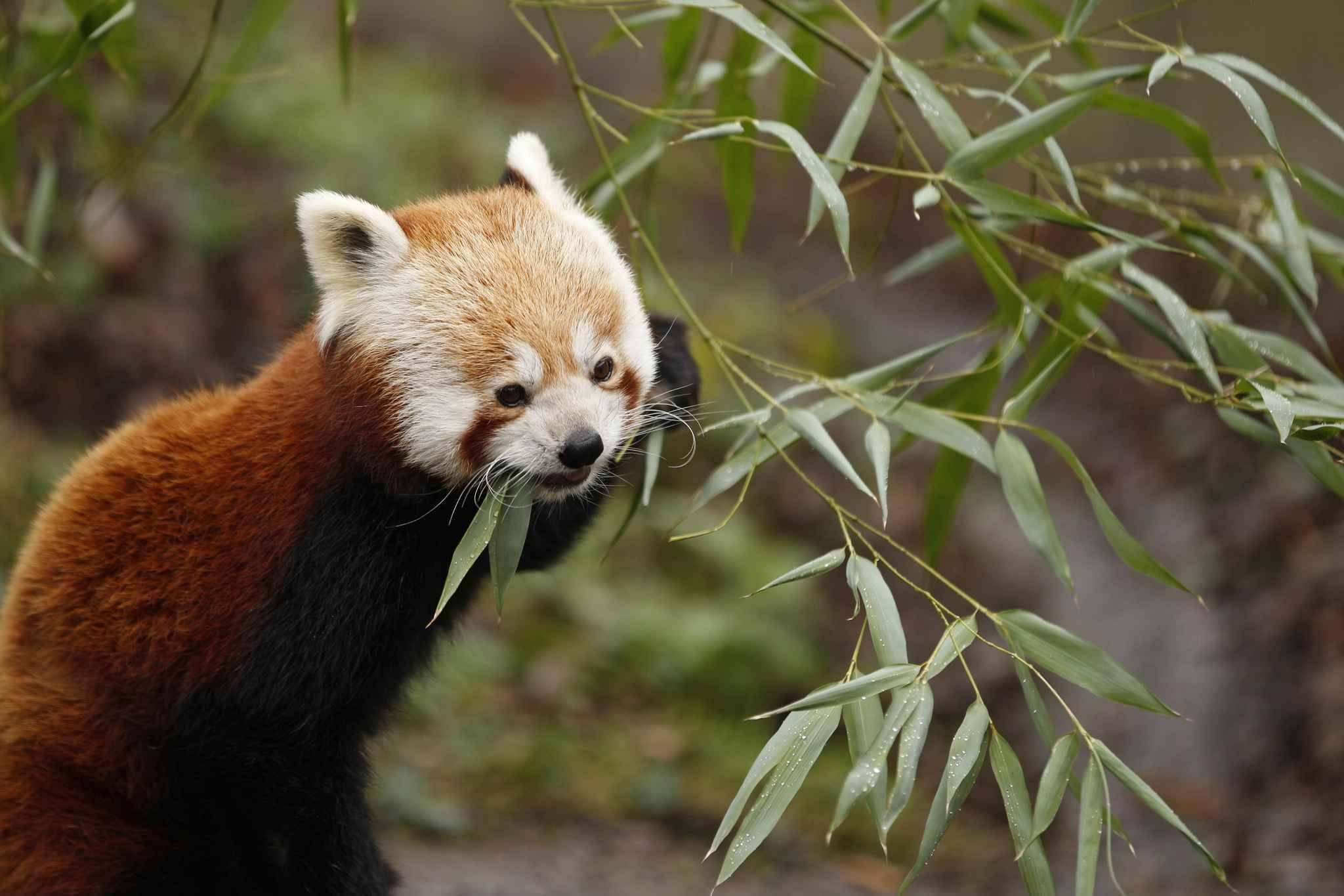 Bordeaux: Samedi, C'est La Journée Des Pandas Roux Au Zoo De Pessac