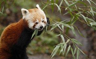 Illustration d'un panda roux.