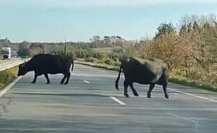 Des buffles en divagation ont été vus par des automobilistes en Bretagne le 30 novembre 2020.