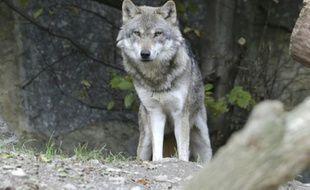 La capture du loup voulue par des maires des Alpes-de-Haute-Provence a été interdite par le tribunal administratif.