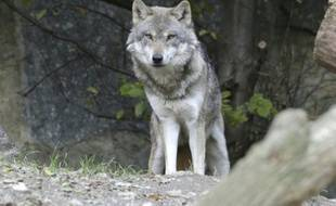 Un loup a été abattu mercredi dans les Hautes-Alpes, le 7e abattu depuis en France depuis le 30 juin 2015
