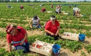 Des saisonniers en train de faire la cueillette de fraises (illustration)