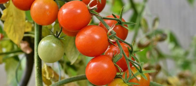 Illustration de tomates