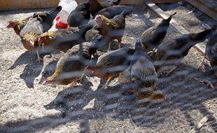 Avec le risque de grippe aviaire, les volailles Label rouge ou élevées en plein air peuvent être confinées.