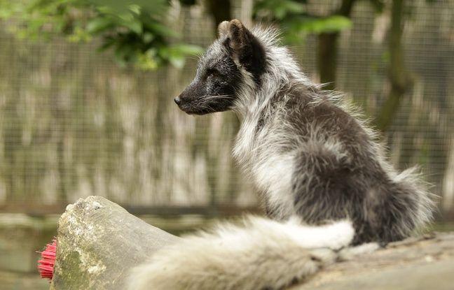 La femelle renard polaire qui a donné naissance à six petits au zoo de Lille.
