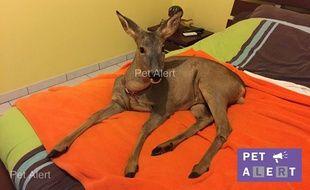 Un Landais est à la recherche de Bambi, son chevreuil apprivoisé.