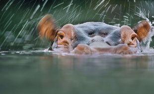 La justice a estimé que Jumbo l'hippopotame n'était pas maltraité dans son cirque. (illustration)