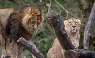 Lions du parc de la tête d'or de Lyon. KONRAD K./SIPA