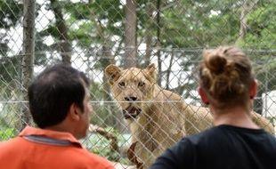 Un lion donné par l'Afrique du Sud au zoo d'Abidjan, le 10 mars 2015