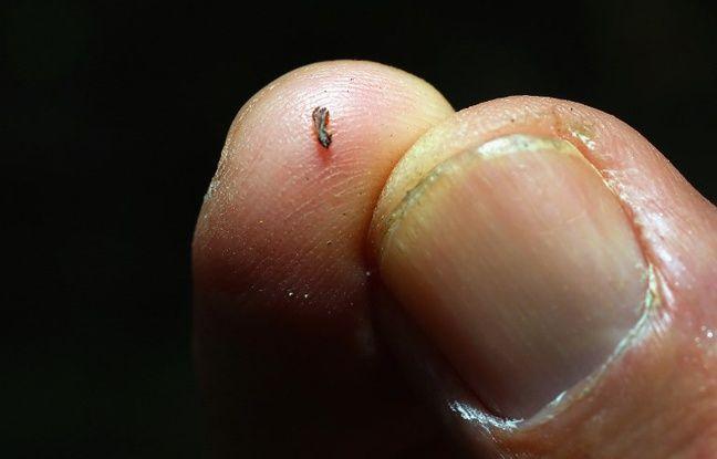 Un psylle asiatique, responsable de la contamination de 99% des vergers de Floride.