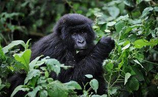 Un jeune gorille des montagnes, dans le parc national des Virunga, en République démocratique du Congo, en 2008
