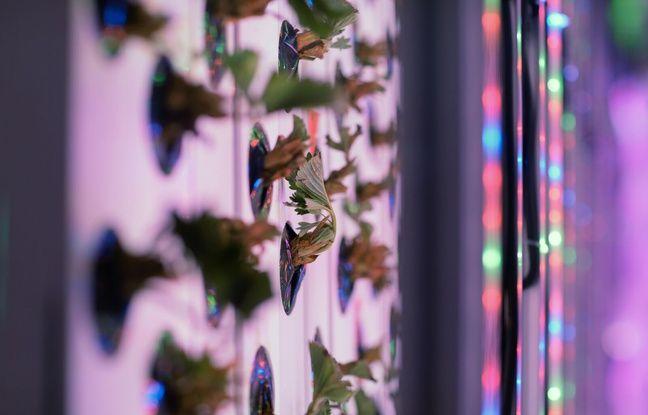 Dans ces contenairs, les fraises poussent à la verticale le long de tours placées devant des diodes électroluminescentes (LED).