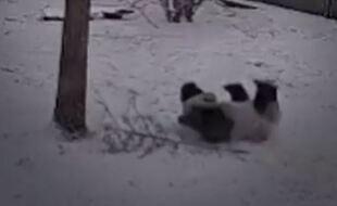 Un panda en train de jouer dans la neige.
