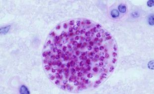 Le parasite Toxoplasma Gondii dans une cellule de souris