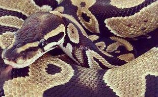 Cassiopée, un python femelle, a disparu depuis le 30 juillet à Cahors.